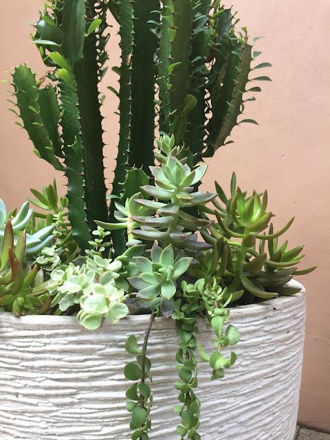 cactus, cacti, cactus planter, sedum succulent, succulents, succulent planter, Euphorbia trigona 'African Milk Tree', miami succulents, miami cacti, miami cactus, garden design, custom planters, Portulacaria afra 'Elephant Bush' succulent, Graptosedum