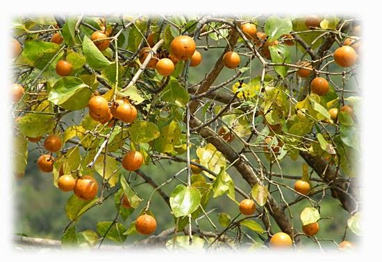Plantas venenosas - Nux vomica (Strychnos nux-vomica)