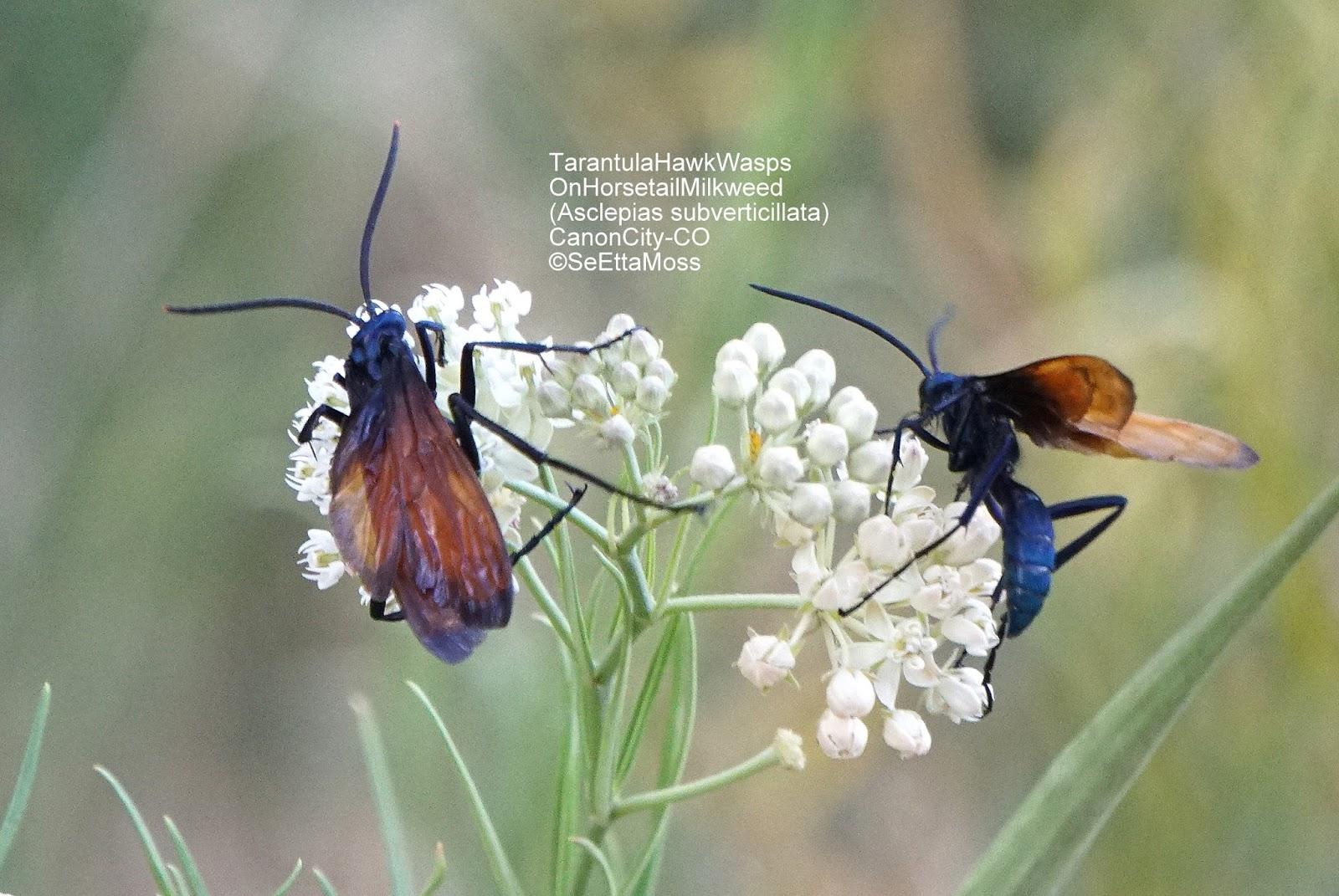 Tarantula Hawk Moths On Pretty Native Milkweed Called Horsetail Milkweed