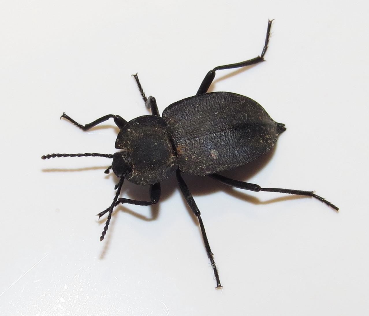 Bug Eric: ID Tip: Ground Beetle or Darkling Beetle?