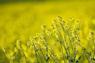 Đâu đây vẫn còn màu hoa vàng