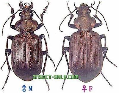 escarabajos argentinos Juanita meona (Calosoma argentinensis)