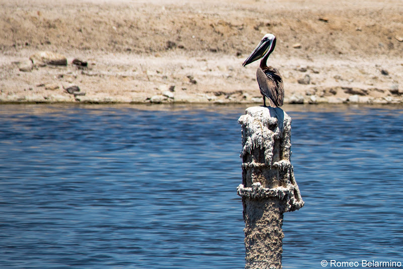 Brown Pelican North Shore Beach & Yacht Club Salton Sea Ghost Towns Photography