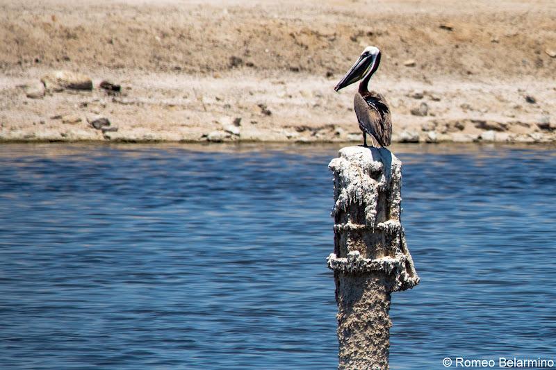 Brown Pelican North Shore Beach & Yacht Club Salton Sea Ghost Towns Photography