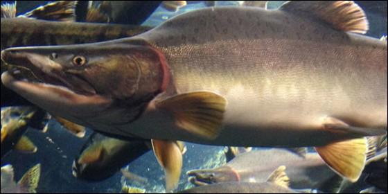 El robalo: La \'fuga\' de casi un millón de salmones de un criadero ...