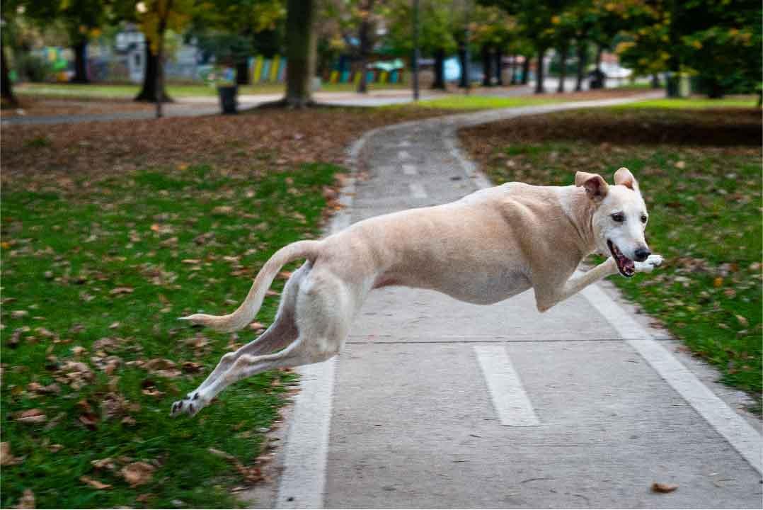 Chien Long Greyhound, race de chien, les animaux de la compagnie, chien de compagnie,