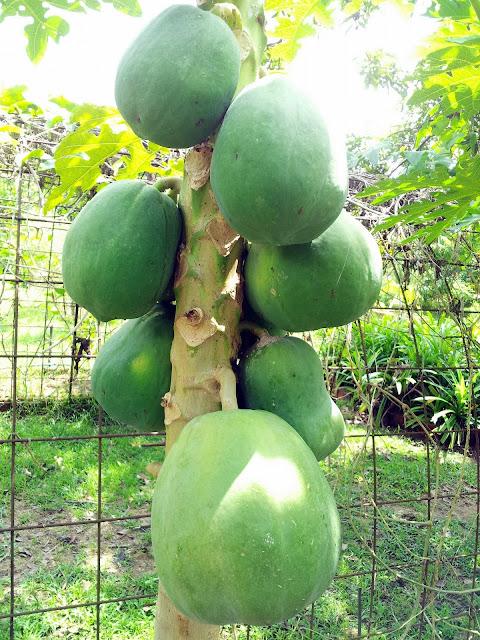 papaya pamparegla na pagkain