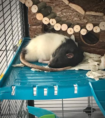 Schlafende Farbratte