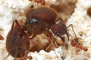 Foto ratu semut rangrang