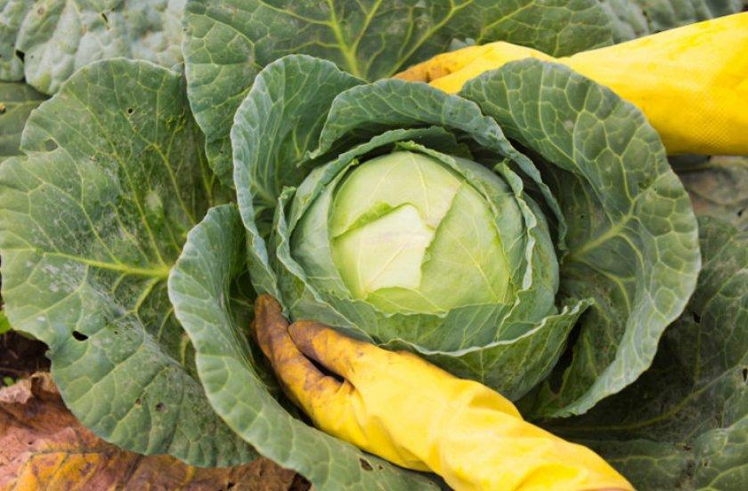 Обрывать или не обрывать нижние листья у капусты: как она лучше наливается?