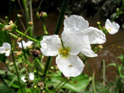 Cucharero Echinodorus grandiflorus