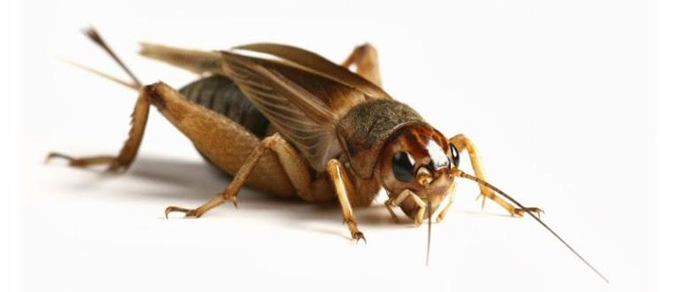 Respirasi Serangga