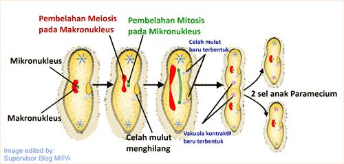 gambar dan tahapan Reproduksi Paramecium caudatum secara Aseksual (Pembelahan Biner)