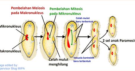 Gambar dan Tahapan Reproduksi Paramecium Secara Asesual ...