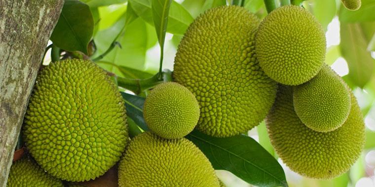 A jaca tem propriedades antioxidantes, fortalece a imunidade e muito mais