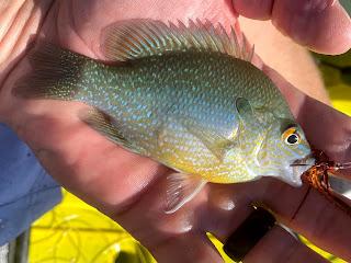 Longear Sunfish, Sunfish on the Fly, Fly Fishing for Sunfish, Fly Fishing the South Llano, South Llano River, Texas Fly Fishing, Fly Fishing Texas, Pat Kellner, Dac Collins, Spring-Fed Adventures