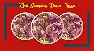 efek samping daun ungu