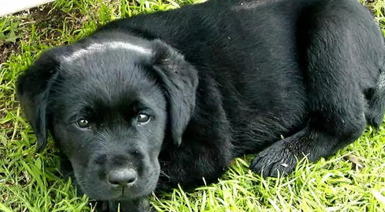 Afador Dog Breed