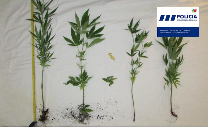 Apreendidas quatro plantas de Cannabis em Brenha
