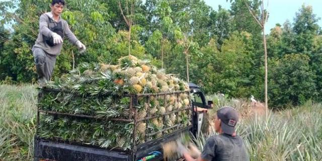 Terdampak PPKM, Petani Nanas di Muara Enim Rugi Hingga Puluhan Juta
