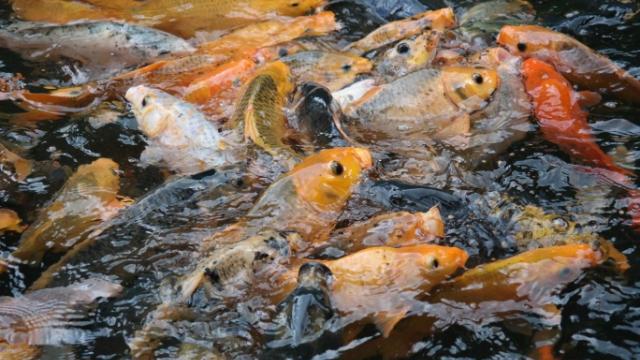 Cara Membuat Ramuan Untuk Meningkatkan Nafsu Makan Ikan