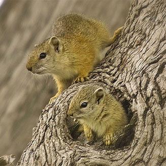 Smith´s bush Squirrel