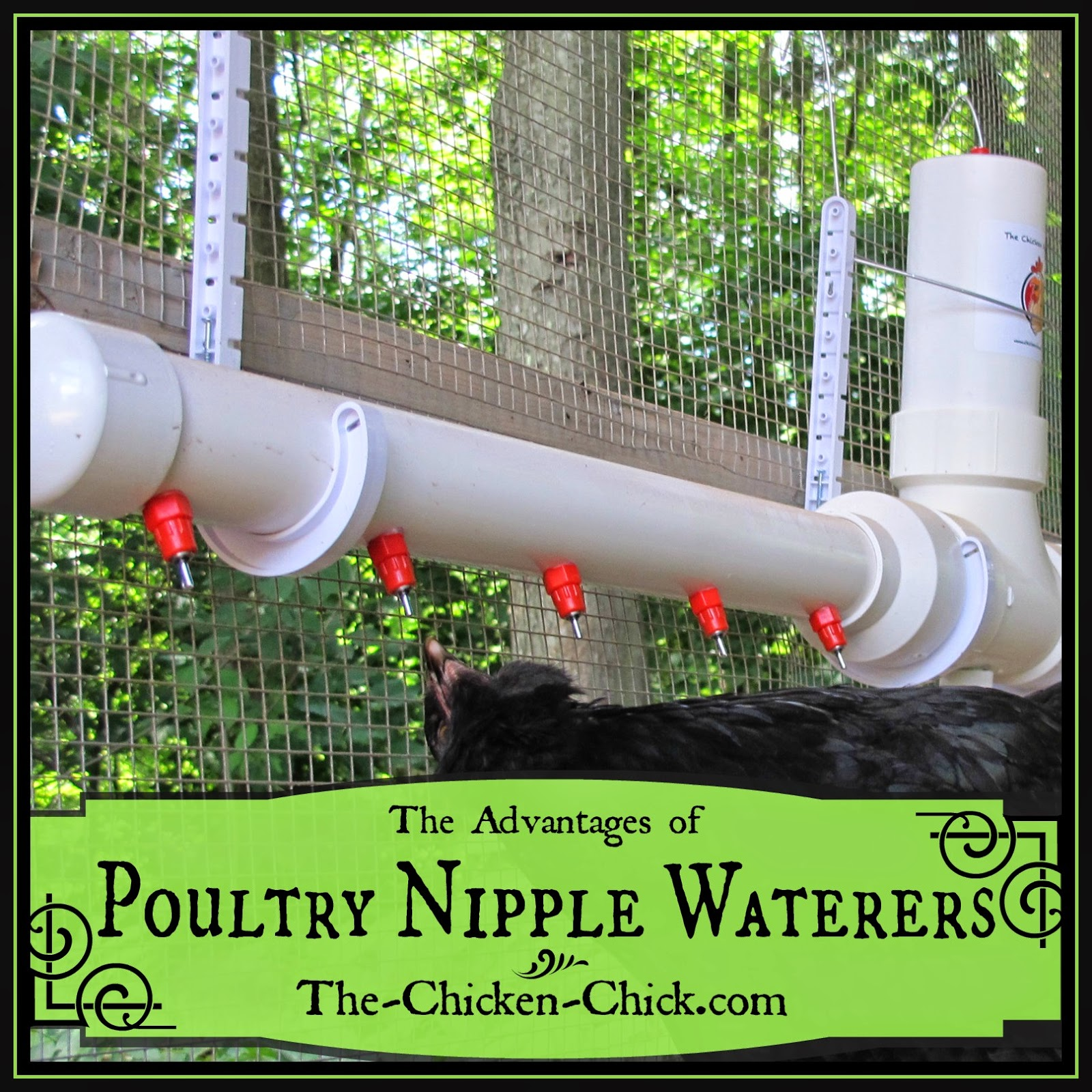 "I had been making my own poultry nipple waterers (PNW) for my quail recently when a new product came to my attention, The Chicken Fountain™. I read about The Chicken Fountain, but still could not understand what was better about it than the PNWs I had been making. That is, until the inventor, North Carolina resident Frank Cardaropoli, personally delivered and installed one for my chickens. I'm a ""gotta see it to believe it"" kind of consumer and now that I've seen it and watched my chickens using it, I am a firm believer that The Chicken Fountain is better for my chickens than any other water delivery system available."