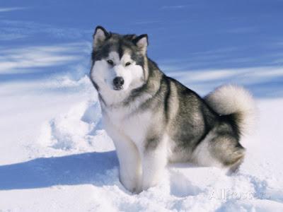 Anjing Salju Alaskan Malamute mudah dirawat