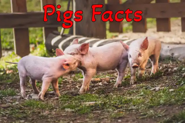 75+ Information & Facts About Pigs in Hindi