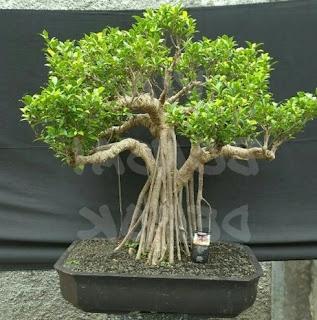 gambar bonsai beringin kimeng