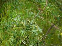 Neem Tree(নিম গাছ )