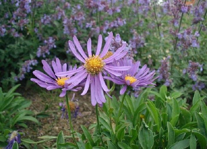 Bunga aster alpinus