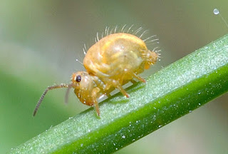 A close-up of a golden-colored Globular Springtail on a green stem.