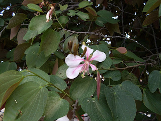 Casco de vaca - bauhinia picta - legume tree south america arbol leaves pods leguminoso pink purple flowers