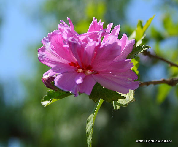 Rose of Sharon tree flower