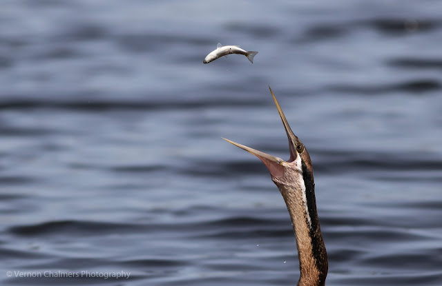 African darter fishing in the Diep River, Woodbridge Island, Cape Town Image 2 Copyright Vernon Chalmers Photography