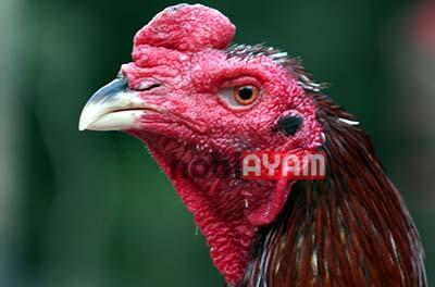 Kepala Ayam Bagus