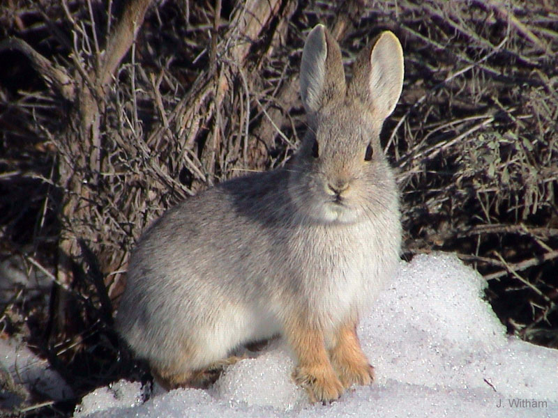 Volcano Rabbit | Animal Wildlife
