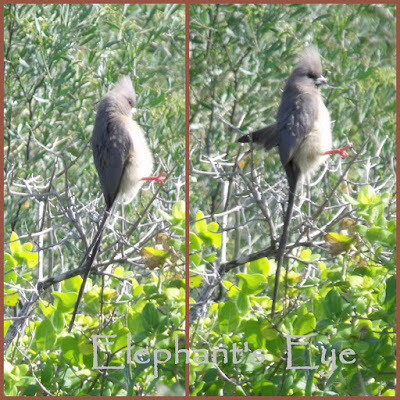 Whitebacked mousebirds