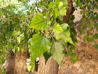 Populus fremontii, Álamo