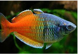 Ikan Hias Air Tawar Terindah Rainbow bosmani (Boesemans rainbow fish)