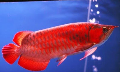 Ikan Arwana Merah / Super Red