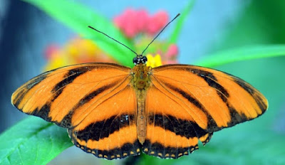 Detailed research reveals that the Master Engineer equipped fragile butterfly wings to withstand the pummeling of raindrops.