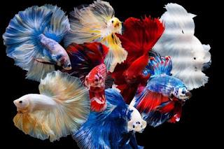 Ini Penyebab Ikan Cupang Jadi Primadona di Masa Pandemi