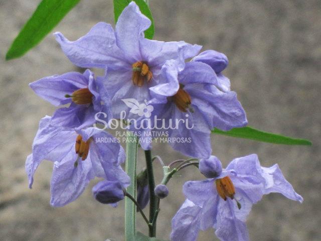 Solanum amygdalifolium  Jazmín de Córdoba