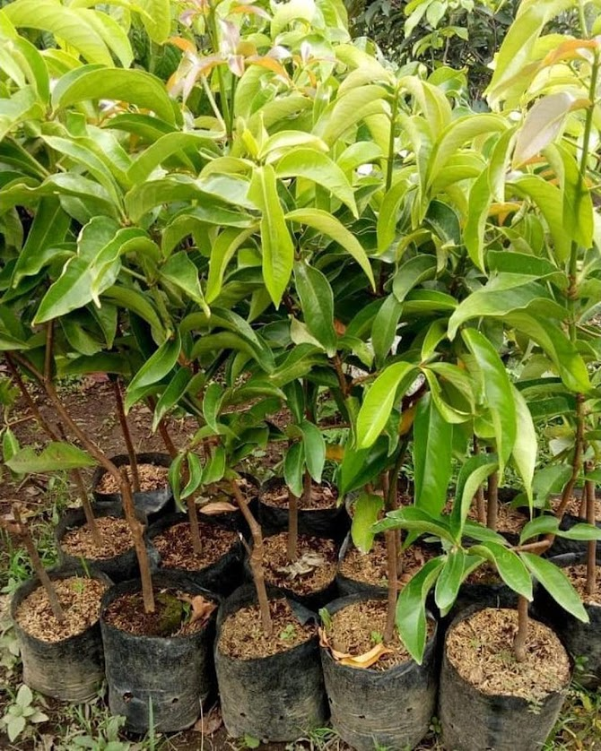 Bibit jambu jamaika jumbo okulasi bisa COD Sulawesi Utara