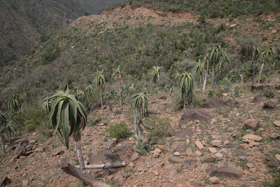 Yemen Tree Aloe