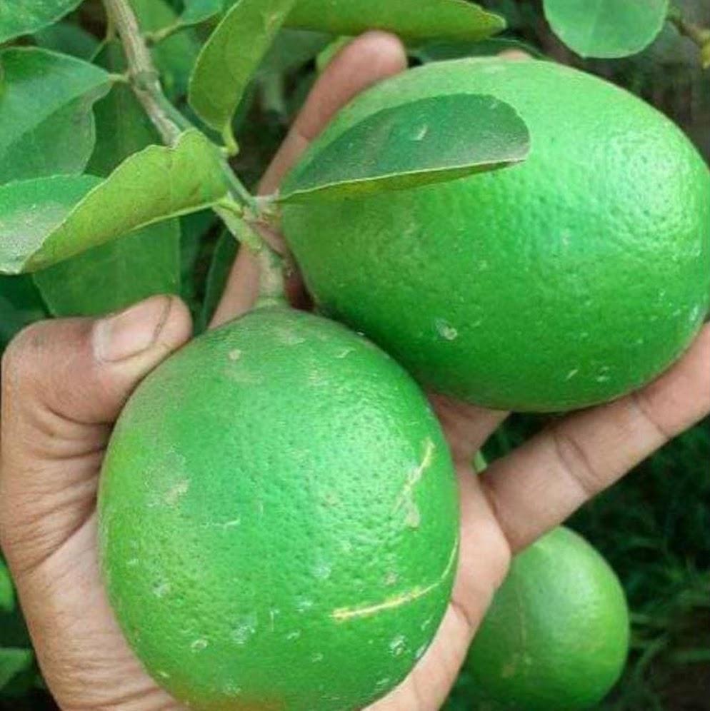 Bibit jeruk nipis Padang Sidempuan