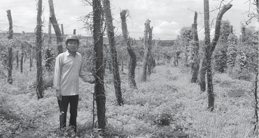 Gia Lai: Nợ hơn 4.300 tỉ đồng, cứu lấy người trồng tiêu!
