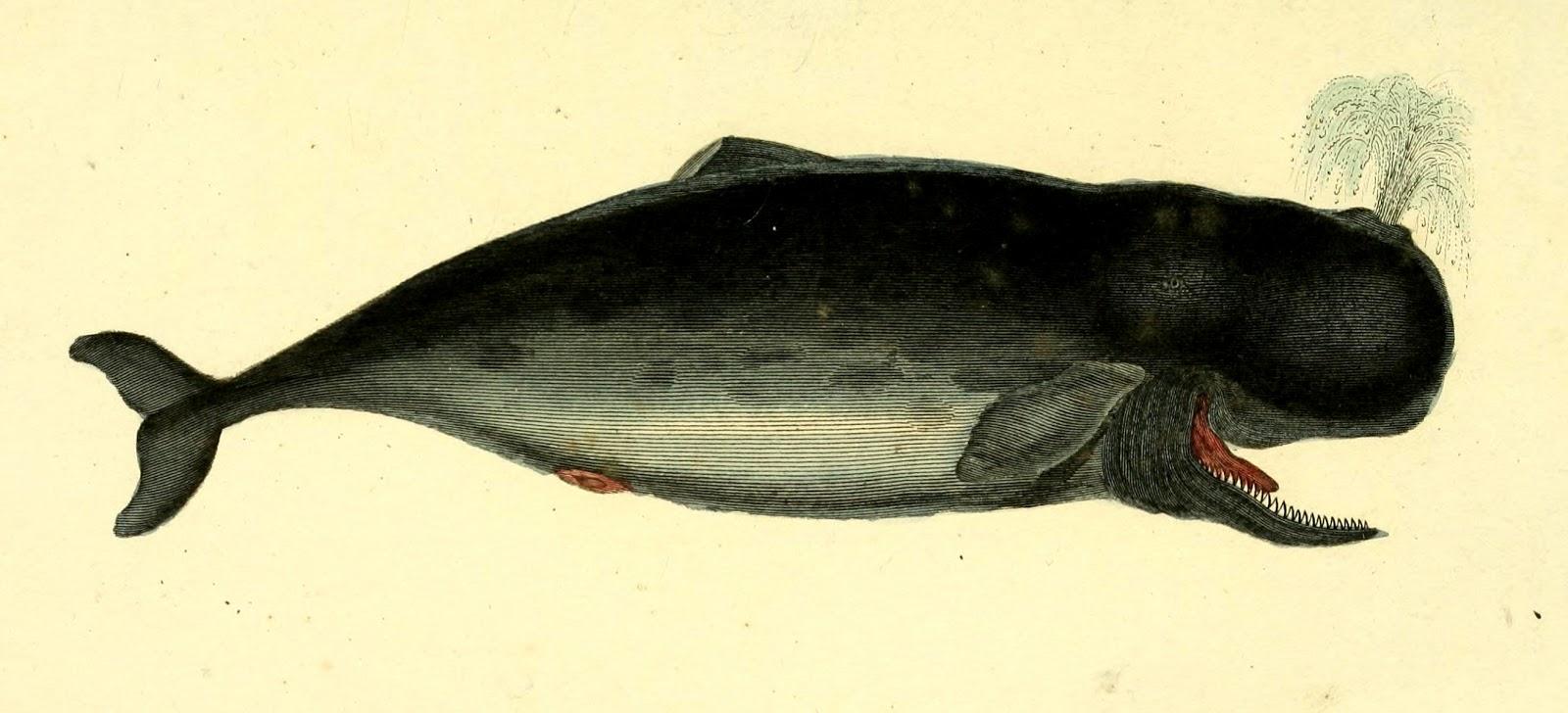 Whale Scientific Illustration